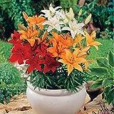 Lilie Asiatische Mischung - 5 Lilien-Zwiebeln - Lilium Zierpflanze, Liliengewächs Blumenzwiebeln zum Pflanzen, farben-frohe Blüten, mehrjährig, winterhart von Garten Schlüter