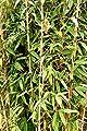 Bambus Fargesia Red Zebra - roter Zebrabambus, winterhart, bildet keine Wurzelausläufer von greenone® bei Du und dein Garten