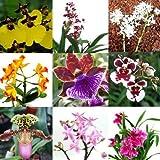 1 blühende Orchidee im Topf, Überraschungspflanze, 2 Rispen