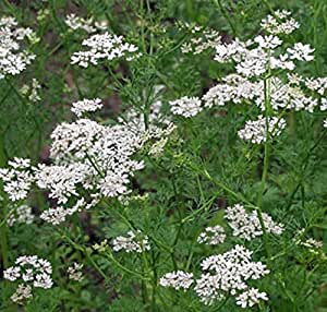 ANICE VERDE 250 SEMI Pimpinella Anisum semina giardino pianta erba aromatica