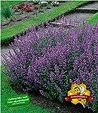 BALDUR-Garten Katzenminze Nepeta, 3 Pflanzen winterhart Stauden