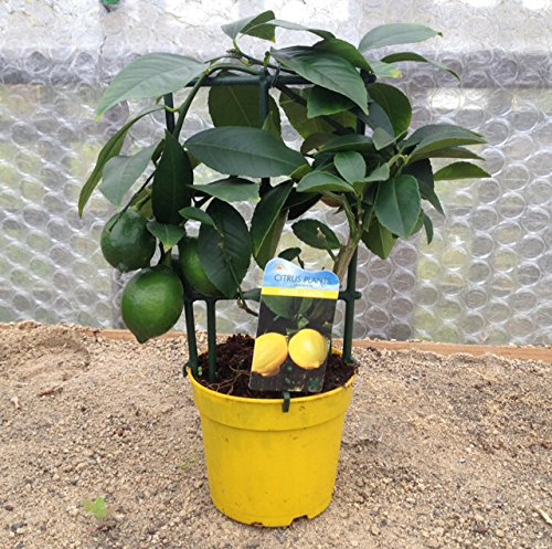 citrus-meyer-lemon-tree-25cm-tall-in-15-litre-pot-great-gift-idea-indoor-plant