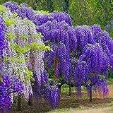 Glyzinien-Baum-Samen,Multifunktions entzückende Blumen wohlriechende Blüte Glyzinie Baum Samen (Lila)