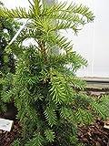 Taxus baccata dovastoniana Aurea - gelbe Adlerschwingen-Eibe Preis nach Größe 30-40 cm