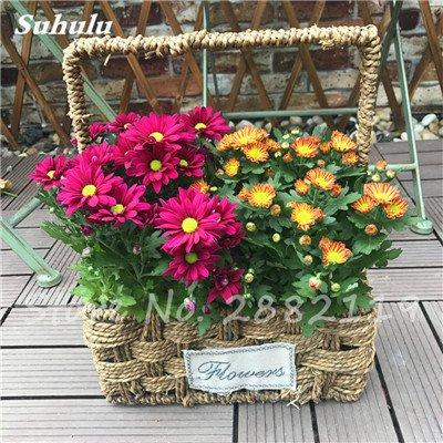 120 pcs graines graines de fleurs Daisy strawberry marguerite, fleurs de saison graines chrysanthème, Bonasi beau balcon fleuri coloré 19