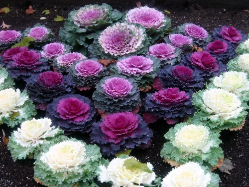 premier-seeds-direct-cab01f-cabbage-ornamental-mix-seeds-pack-of-120
