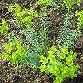 Blumixx Stauden Euphorbia seguieriana niciciana - Steppen-Wolfsmilch, im 0,5 Liter Topf, hellgelb blühend von Blumixx Stauden bei Du und dein Garten