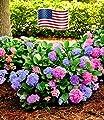 """BALDUR-Garten Winterharte Freiland-Hortensie """"L.A. Dreamin®"""" 1 Pflanze Hydrangea von Baldur-Garten bei Du und dein Garten"""