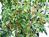 Chilli Pepper - Twilight - Medium HOT ! 12 seeds