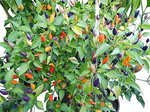 Numex Twilight 10 Samen *Mini-Chili* mit sehr guten Ertrag WOW ''' Ähnliches Farbspektakel wie die Bolivien Rainbow''' -