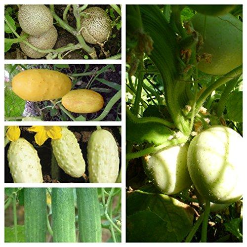 Beliebte Gurkensamen, 5 Arten,50 Samen, getrennt verpackt von unserer ungarischen Farm samenfest, nur natürliche Dünger, KEINE Pesztizide, ECHT NUR VON mediterranpiac