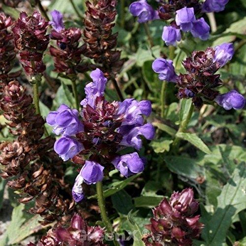 Großblütige Braunelle Bella Blue - Prunella grandiflora