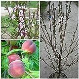 Echter Roter Weinbergpfirsich Pfirsichbaum als Buschbaum 100-120 cm 10 Liter Topf auf Prunus pumila