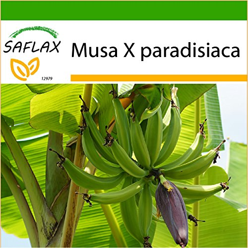SAFLAX - Große Essbanane - 10 Samen - Mit Substrat - Musa X paradisiaca