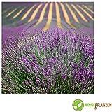 Semillas de hierbas - De Lavanda - genuino / Lavandula angustifolia - Lamiaceae 200 semillas