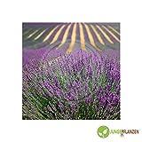 Kräutersamen - Lavendel echter / Lavandula angustifolia - Lamiaceae 200 Samen
