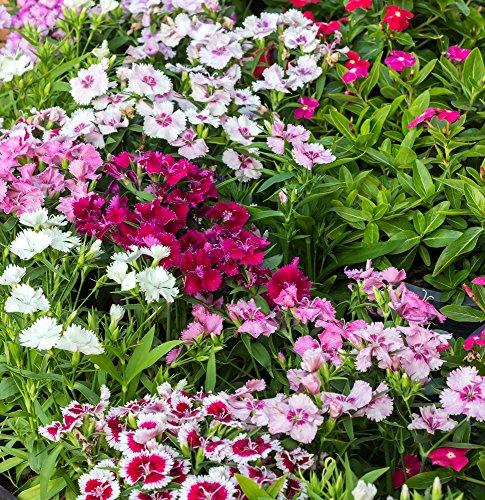 Sweet William Samen - Dianthus Barbatus -