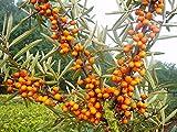 Sanddorn Busch-Baum Friesdorfer Orange leicht säuerlich 50-60 cm orange-rotes Beerenobst Wildobst 1...