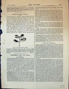 Copie Antique du Jardin 1878 d'Usines de Coprosma Baueriana Variegata de Coupe