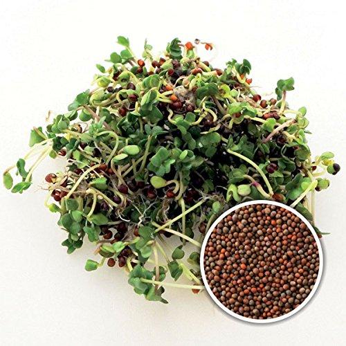 BIO Keimsaat Brokkoli Calabrese Brokkolisamen zur Sprossenzucht Sprossen Microgreen Mikrogrün
