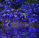 Kisshes Seedhouse - 100 Blue Lobelia Graines Plantes à Fleurs Ornementales Maison Jardin Extérieur Vivaces Graines...