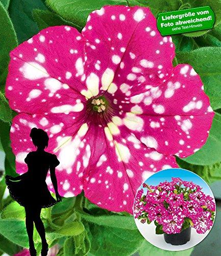 """BALDUR-Garten Hänge-Petunie """"BabyDoll®"""",3 Pflanzen"""