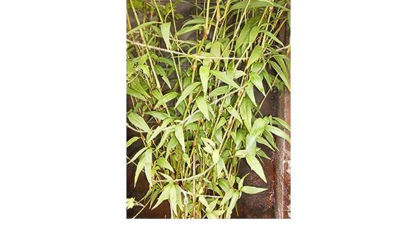 1 FOOT EXTRA LARGE Vietnamese Coriander Herb Conservatory Laksa Plant UK EU US