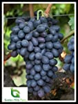Golden Hills Farm Live Plant Grape Fruit Exotic Autumn Royal Seedless Vine Cutting On Poly Bag Home Garden (1 Healthy Plant)