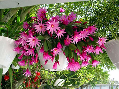 GEOPONICS 2 rara rosada Pascua/planta enraizada corte