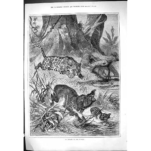 Impresión Antigua de 1881 Animales del Bebé del Leopardo de la Selva del Ataque