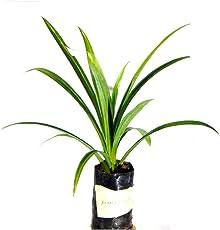 Bai Toey Pandan Rambha Basmati Plant Biriyani Plant Screw Pine Annapurna Annapoorna Pandanus Amaryllifolius Living Plant in Poly Bag
