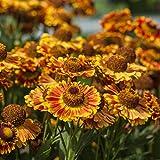 lichtnelke - Sonnenbraut (Helenium autumnale Mariachi™) Fuego
