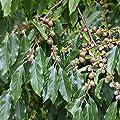 Kaki Busch (Diospyros kaki), 1 Pflanze von Amazon.de Pflanzenservice bei Du und dein Garten