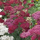 Garten-Schaf-Garbe Achillea millefolium 'Red Velvet' Staude winterhart im Topf gewachsen