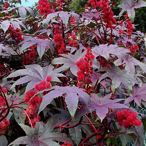 Plant World Seeds - Ricinus Communis 'Red Giant' Seeds -
