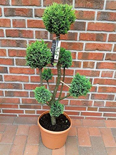 Gartenbonsai / PonPon, Koniferen Formschnitt mit grünen Nadeln, 110-120 cm