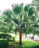 FERRY Graines Bio Seulement Pas de Plantes: 2: Fan PMS, Livistona, Chaque 100 graines à 100 graines 100 graines ES TL