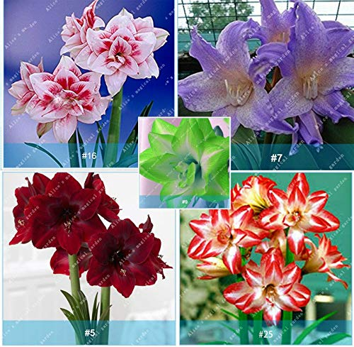GEOPONICS Colore: 11 Amaryllis Bulbi Bados Lily Bulbi Hippeastrum Bulbi, Multi-Colori, 2 pc/lotto