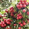 Fruit Seeds Lychee Bears Small Fleshy Fruits Seeds Garden Fruit Seeds Seeds Kitchen Garden Seeds Pack By Creative Farmer