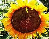 100 Helianthus annuus Uniflorus Giganteus Samen, Riesensonnenblume, 3-4m, Blüte > 30cm
