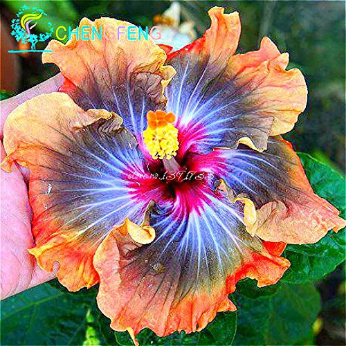 100 Riesen-Hibiskus-Blumensamen Indoor-Mix Farbe Seed DIY Hausgarten Topf oder Hof Blumenpflanze Staude Topf -