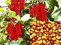 20 Samen Schisandra chinensis, Wu-Wei-Zi, chin. Heilpflanze, Magnolien Wein von rareseeds - Du und dein Garten