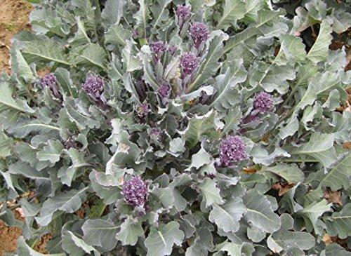 justseed–Bio–Gemüse–Saatgut Brokkoli Purple SPROUTING Santee (F1–10Samen