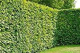 Hainbuche/Weißbuche - Carpinus betulus - Laubhecke schnellwachsend winterhart schnittverträglich Heckenpflanze - Hainbuchenhecke von Garten Schlüter - Pflanzen in Top Qualität