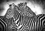 Welt-der-Träume Photo Papier peint Zebra Noir/blanc | | Photo Papier peint 10159_ P-ms | Nature sauvage Wildlife Animal animaux Zebra Zèbres, P8 (368cm. x 254cm.)