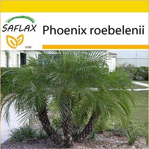 SAFLAX - Anzucht Set - Zwerg - Dattelpalme - 25 Samen - Phoenix roebelenii