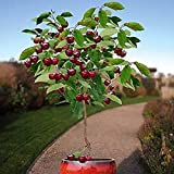 10 piezas de semillas de cerezo enano Árbol frutal autofértil Plantación en interiores y exteriores Dulce y jugoso amado por