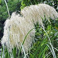 Jiacheng29 100Pcs Pampas Grass Cortaderia Selloana Flower Reed Seeds Garden Plant Decor Silver White