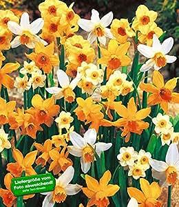 BALDUR-Garten Narzissen-Steingarten-Mix, 25 Zwiebeln Narcissus Hybrid