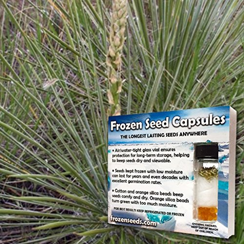 Soapweed Yucca Seeds (Yucca glauca) 20+ Rare Medicinal Herb Seeds + FREE Bonus 6 Variety Seed Pack - a $29.95 Value! Packed in FROZEN SEED CAPSULES for Growing Seeds Now or Saving Seeds for Years